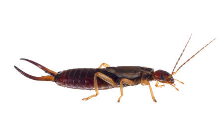 Common aka European earwig, Forficula auricularia studio isolated on white background. Profile. Male insect. 写真素材
