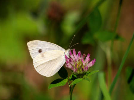 Small cabbage white butterfly on clover flower. Defocussed background. Pieris rapae.
