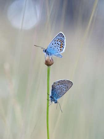 Silberbesetzte blaue Schmetterlinge - Plebejus Argus, in der Abenddämmerung. Standard-Bild