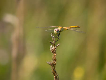 Yellow dragonfly - Red-veined Darter, Sympetrum fonscolombii.