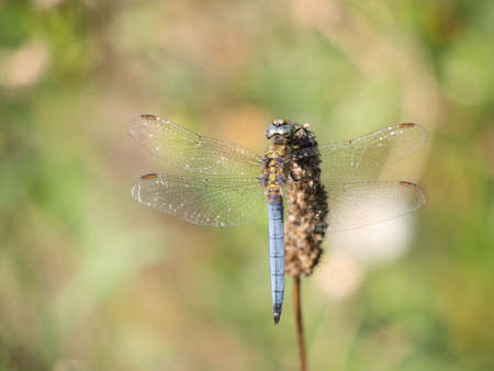 Pale blue dragonfly Keeled Skimmer aka Orthetrum coerulescens. In habitat.