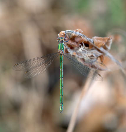 Metallic green damselfly, Chalcolestes viridis, formerly Lestes viridis aka Willow emerald damselfly or Western willow spreadwing. Stunning straight on shot.