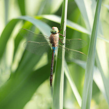 Pale blue dragonfly Keeled Skimmer aka Orthetrum coerulescens. In habitat. Close square crop.