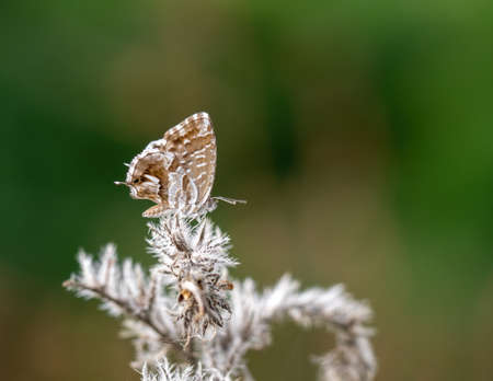 Cacyreus marshalli butterfly Aka geranium bronze. Its caterpillars thrive on geraniums and pelargoniums and are now considered a pest in Europe.