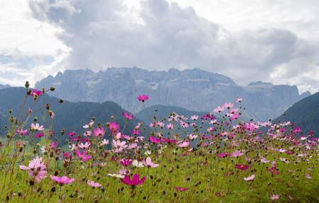 Grey day in the Dolomites, but cosmos daisies brighten the scene - the town of Selva Val di Gardena is full of flowers.
