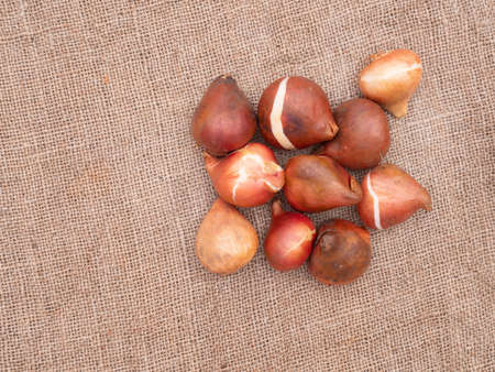 Assorted tulip bulbs on rustic hessian with copyspace. Overhead view.