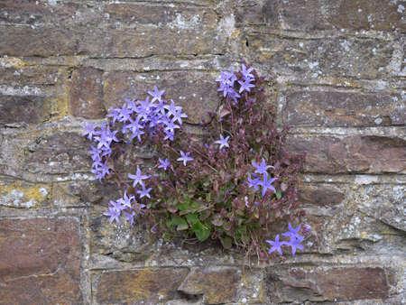 Campanula portenschlagiana aka Dalmatian bellflower, escaped from garden, growing wild in stone wall.
