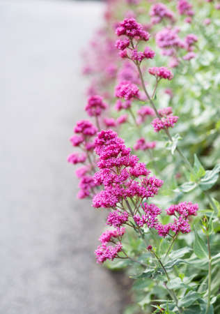 Red valerian flowers by roadside, with copyspace. Vertical background.