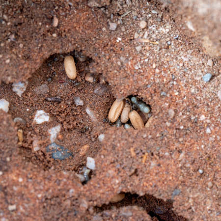 Black garden ants, Lasius niger living under aptio, here with cocoons and larvae of new queens, prior to Flying Ant Day. Photo UK May. Stock Photo