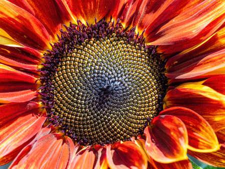 Colourful sunflower flower head, showing Fibonacci pattern. Closeup.