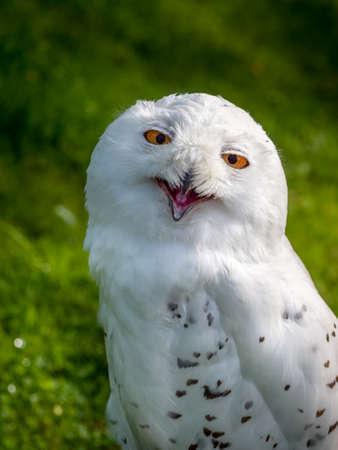 Snowy Owl , Bubo scandiacus.