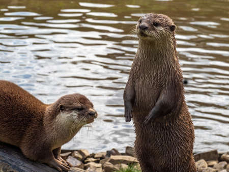 Two Asian Short-clawed Otters, Aonyx Cinerea, by water.