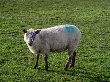 Mated ewe as shown by colour stain on her back. UK.