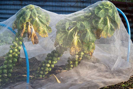 Brussel sprouts plant under weather protection in garden, allotment.