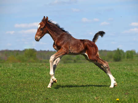 a foal galloping on to the meadow photo
