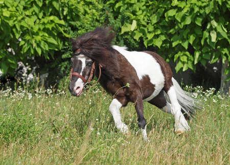 piebald: Poco picazo del caballo sobre un fondo verde natural Foto de archivo