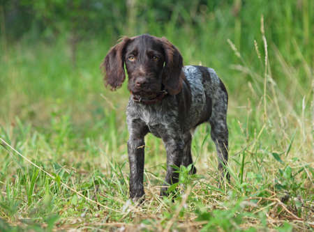 Puppy of breed German Pointer  on a natural  vegetable background