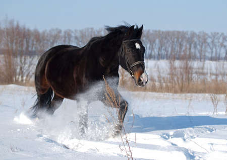 A powerful beautiful darkly-bay stallion  bruises along on deep snow photo