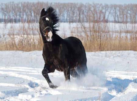 A powerful beautiful darkly-bay stallion  trots on deep snow photo