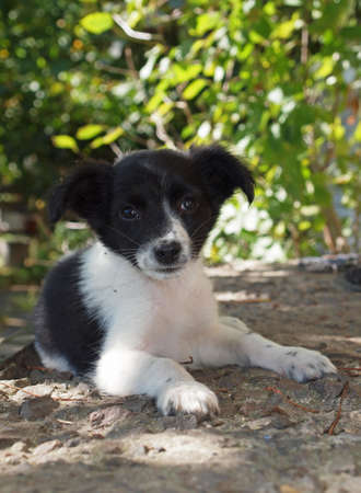 blackly: Puppy blackly white colouring in expectant of owner