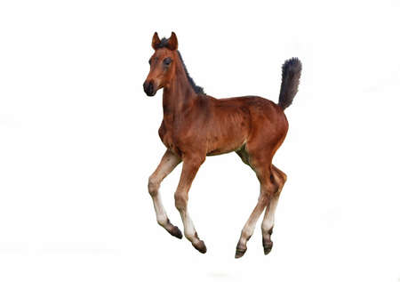 A  bay foal galloping  on a white background