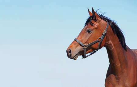 Portrait of young bay horse on a sky background  photo
