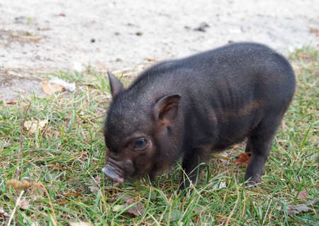 pigling: Two-week Vietnamese pigling  is in a grass