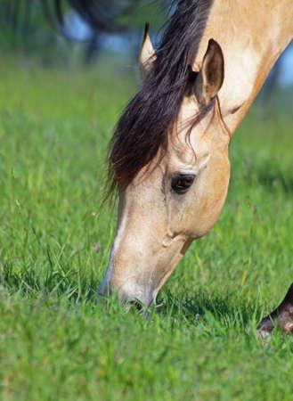buckskin horse: Expressive head of  buckskin horse on grass background Stock Photo