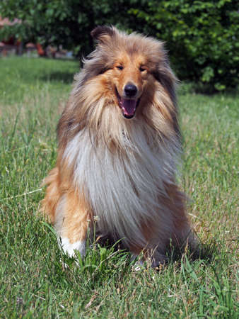Portrait of rough collie on a natural background Stock Photo