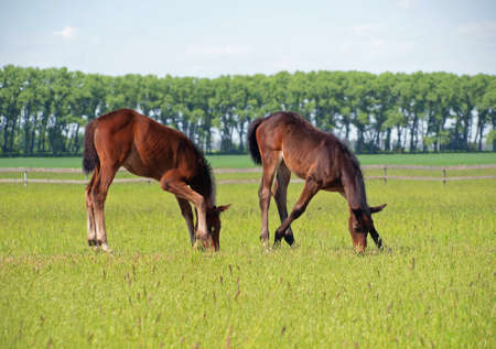 pedigree: Two pedigree bay foals graze on green meadow