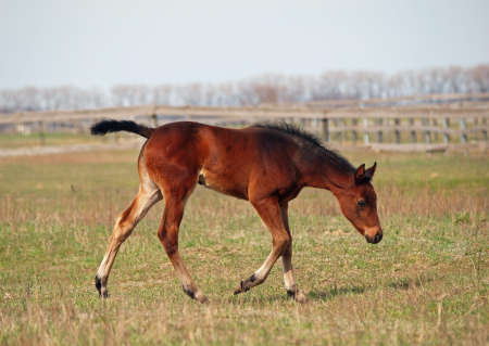 pedigree: Little pedigree bay foal makes first steps on a spring pasture