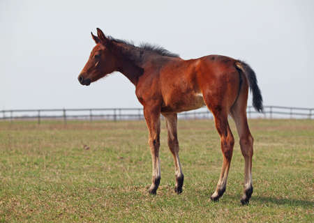 pedigree: Little pedigree bay foal standing on green meadow Stock Photo