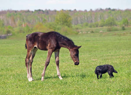 pedigree: Little pedigree bay foal  and dog on green spring meadow