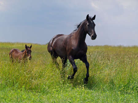pedigree: Pedigree mare and little  bay foal gallops on green meadow