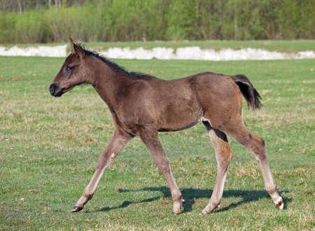 pedigree: Little pedigree  foal steps on green meadow