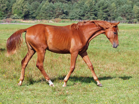 filly: An elegant chestnut filly trotting on a green pasture Stock Photo