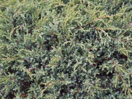 juniper: Background as plants of juniper Stock Photo