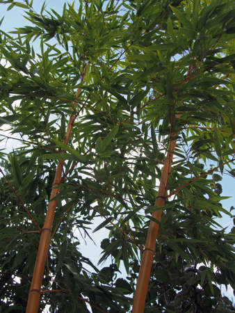 hintergrund himmel: Vorbauten aus Bambus mit Bl�ttern auf einem Hintergrund Himmel Lizenzfreie Bilder