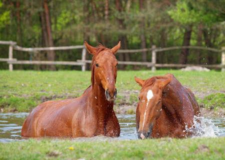 caballo bebe: Dos de casta�as ba�o del caballo en un lago