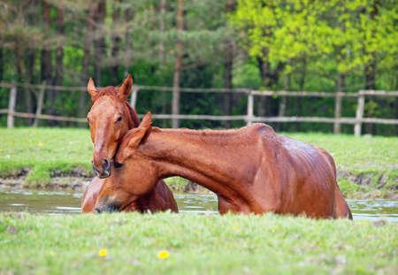 caballo bebe: Dos caballos de baño de color castaño en un lago
