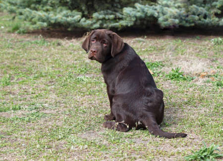 chocolate labrador: Beautiful chocolate Labrador puppy sits on natural background Stock Photo