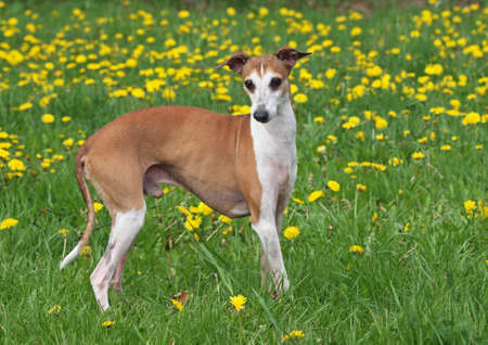 Portrait of nice italian greyhound on green spring lawn with dandelions Stock Photo