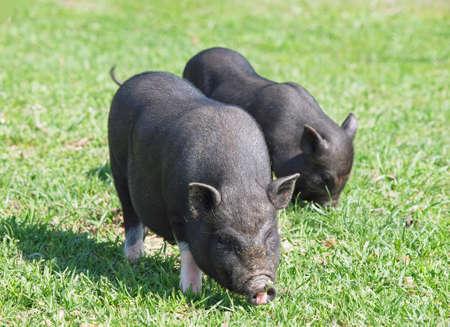 pigpen: Two black mini pig on green meadow