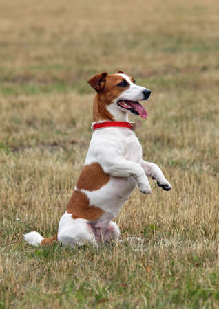 paw russell: Jack Russell terrier standing on hind legs