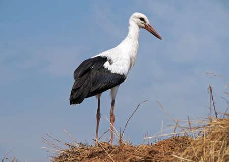 stark: White stork on a background blue sky