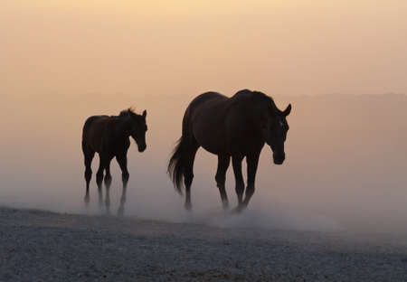 mare and foal: Mare with a foal return from a pasture in the clubs of dust Stock Photo