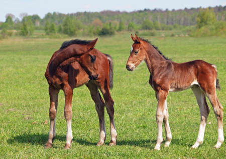 Two little foals met on to the summer meadow