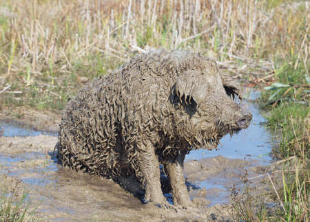 very dirty: Very dirty pig of Hungarian breed Mangalitsa relaxing in a puddle Stock Photo