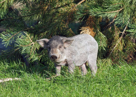pigling: The pigling of Hungarian breed Mangalitsa is in a natural environment Stock Photo