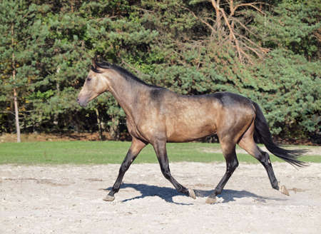 dun: Young dun horse trots on a background the forest